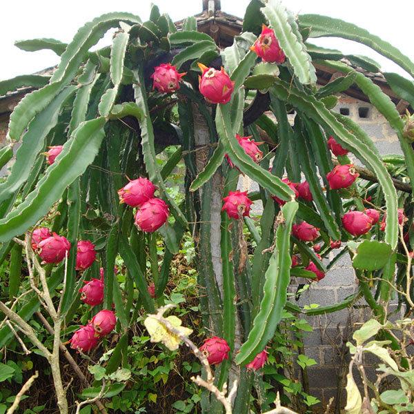 Cactus donde crece la fruta del dragón